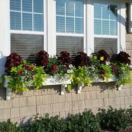 classic window box with tall coleus plant and hanging sweet potato vines