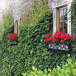 ornamental metal window boxes with wall full of ivy