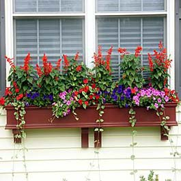 red window flower box with tall Scarlett Sage flowers