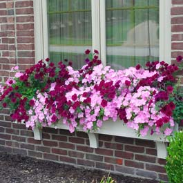 window box on brick over flowing with pink flowers