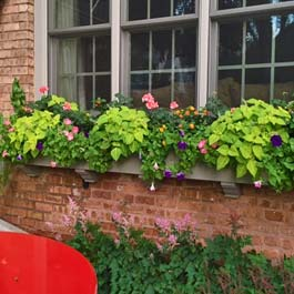 very long custom window box with young vines and flowers
