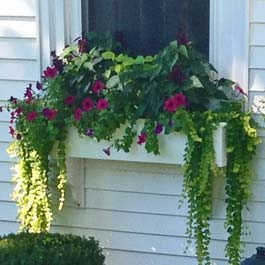 white window box in massachussettes with ivy