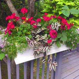 window box on rail with wandering jew flower