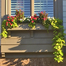 beautiful window box with trailing sweet potato vines and flowers
