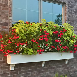 Window Box with Huge red, white, and green flowers