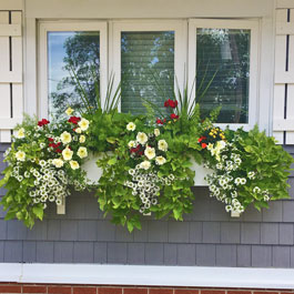 Overfilled Cunningham window box, red, yellow flowers, sweet potato vine, and sun flowers