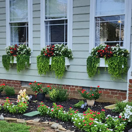 Three window boxes with Creeping Jenny vine and red and white flowers