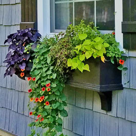 Red black eyed susan vines with sweet potato in black window box