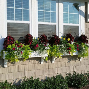 White window boxes with sweet potato vine and coleus