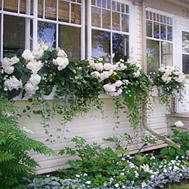 white window box in Canada with white flowers