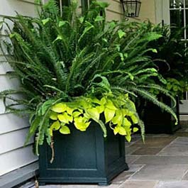large black planter boxes with sword ferns growing out