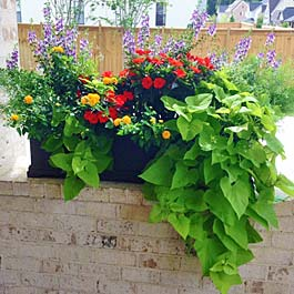 cute planter box on brick ledge with sweet potato vine