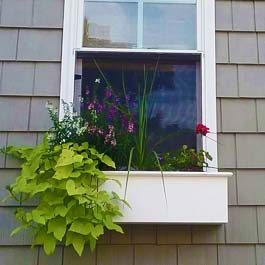 small window box with large sweet potato vine