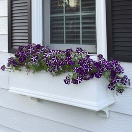 purple and white petunia flowers in white window box